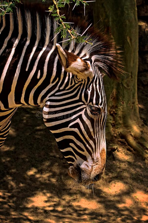Zebra. Grevy`s Zebra Head Close Up Detail stock photos