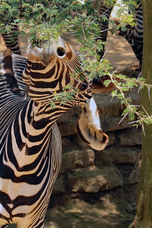 Zebra. Grevy`s Zebra Head Close Up Detail stock photography