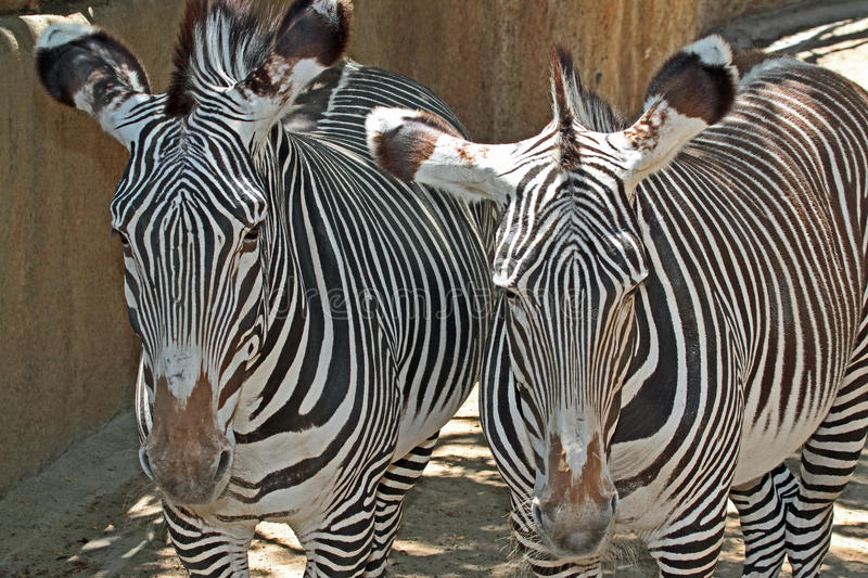 Zebra. Grevy`s Zebra Pair Close Up Detail stock photo