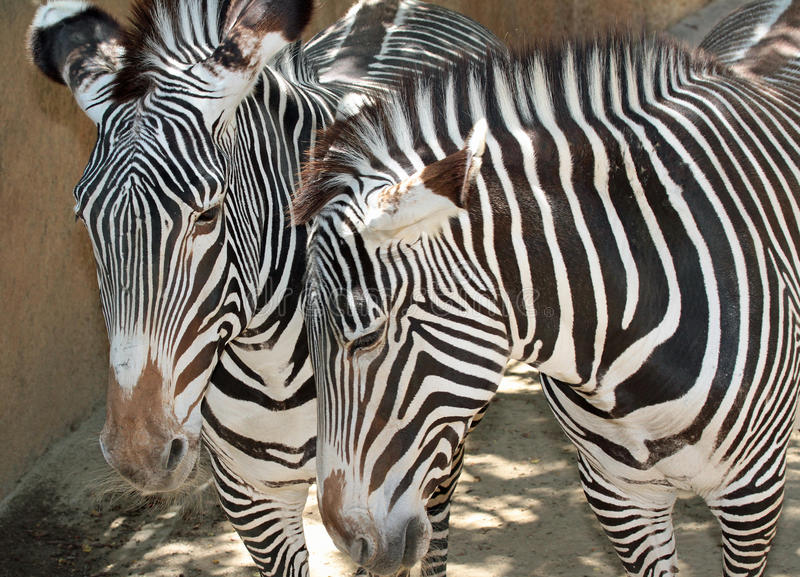 Zebra. Grevy`s Zebra Pair Close Up Detail stock image