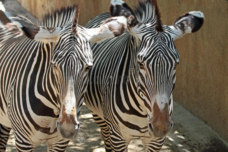 Zebra. Grevy`s Zebra Pair Close Up Detail royalty free stock photography