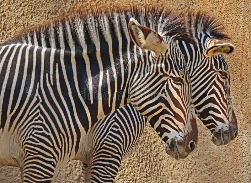 Zebra. Grevy`s Zebra Pair Standing In Profile stock photo
