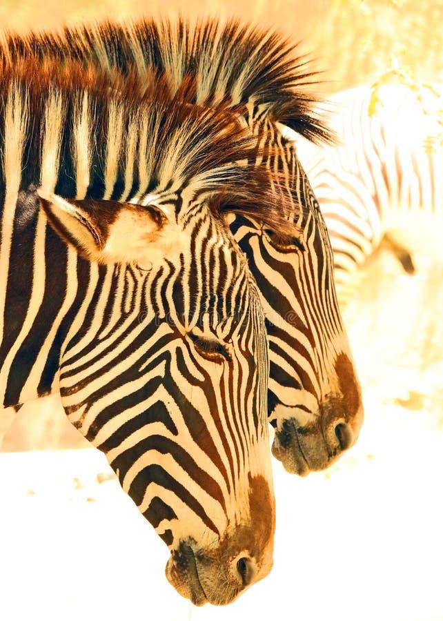 Zebra. Grevy`s Zebra Pair Standing In Profile royalty free stock images