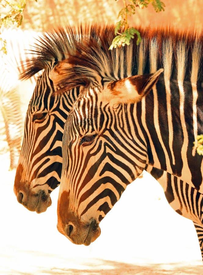 Zebra. Grevy`s Zebra Pair Standing In Profile stock image