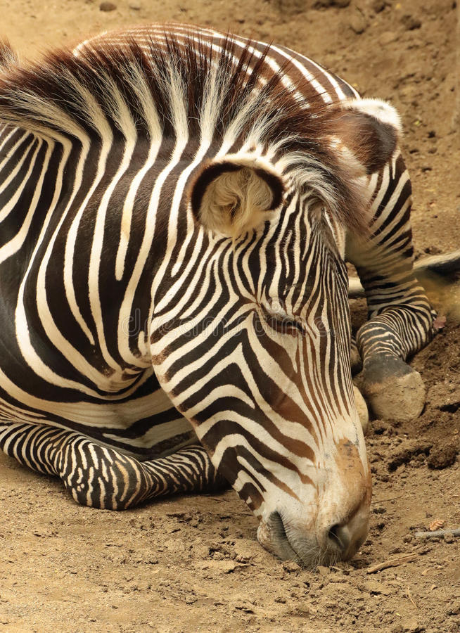 Zebra. Grevy`s Zebra Sleeping Close Up Detail stock images