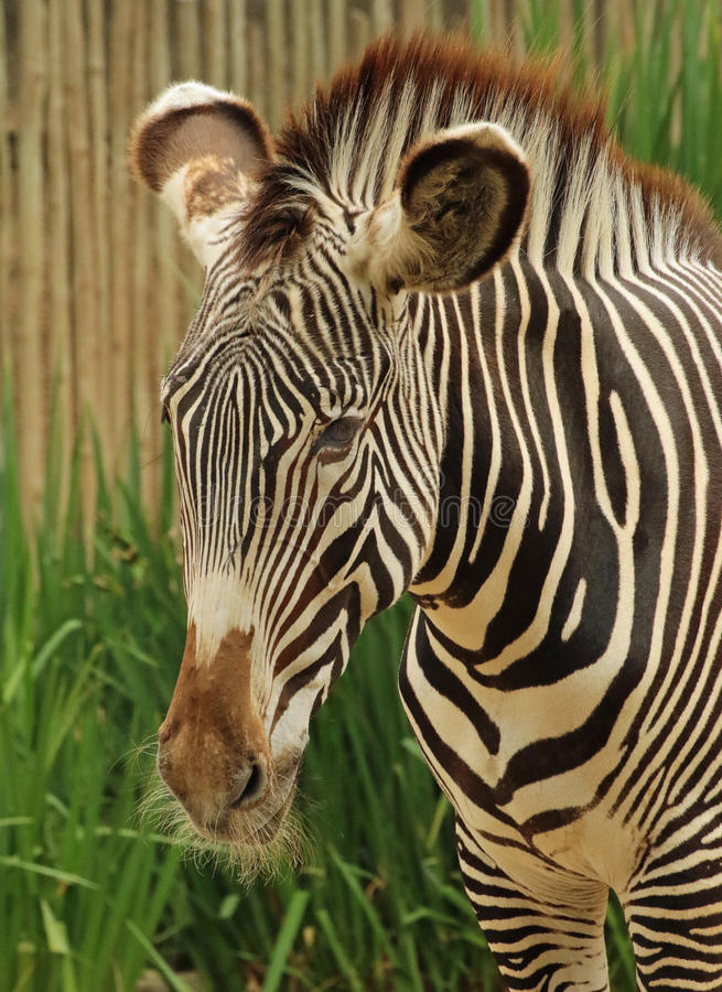 Zebra. Grevy`s Zebra Standing Close Up Detail stock photos
