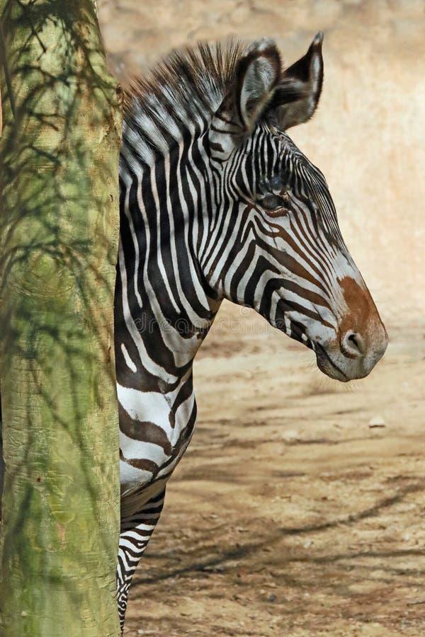Zebra. Grevy's Zebra standing by tree trunk royalty free stock photo