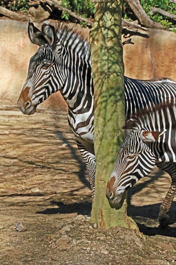 Zebra. Grevy's Zebras standing by tree trunk stock image