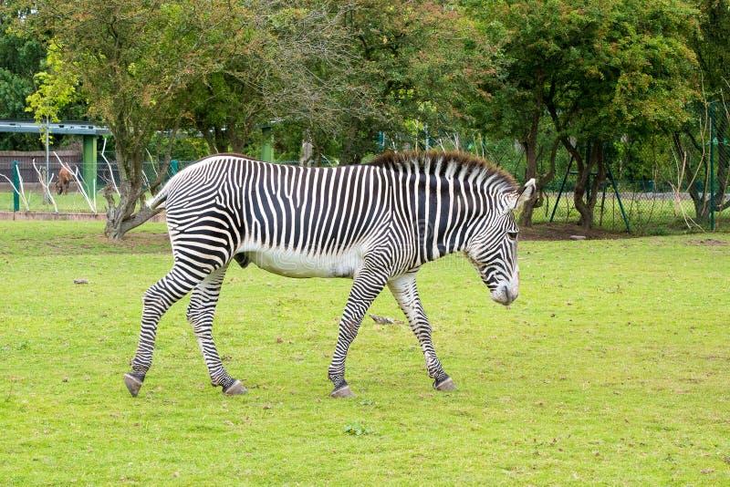 Zebra Grevys stockfotografie