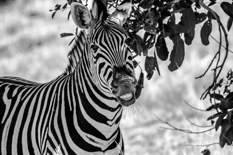 Zebra Grining royalty free stock images