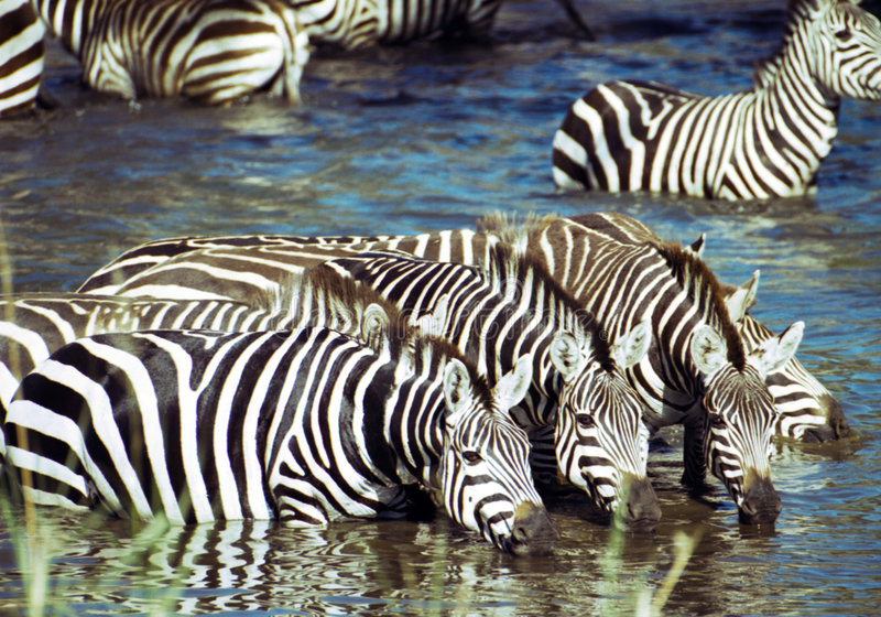 Zebra having a drink. At Serengeti national Park, Tanzania stock image