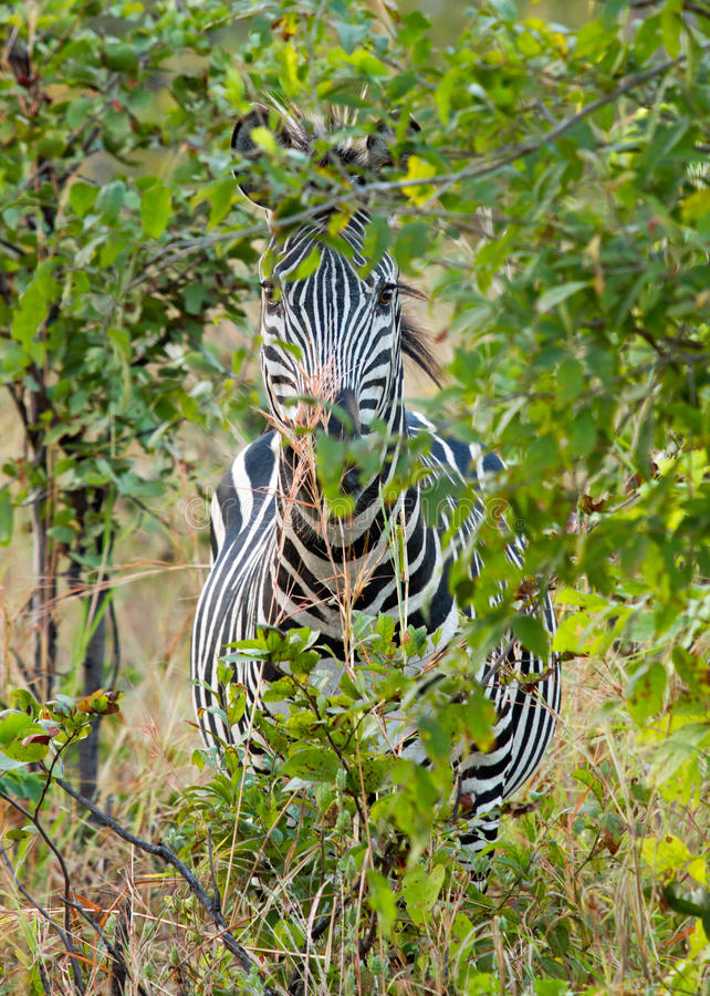 Zebra hding in the bush veld in Hwange national park, zimbabwe. A lone zebra tries to hide behind a bush, but is unsucccessful. Hwange national park, zimbabwe royalty free stock images