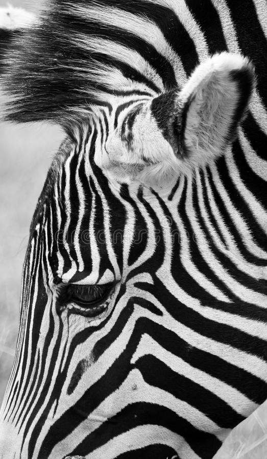 Zebra Head, Black and White. Artistic close up of Zebra head, Black and White royalty free stock photos