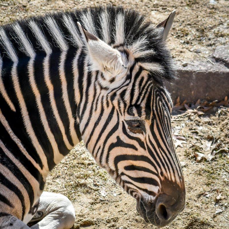 Zebra Head Close Up at Zoo stock photo