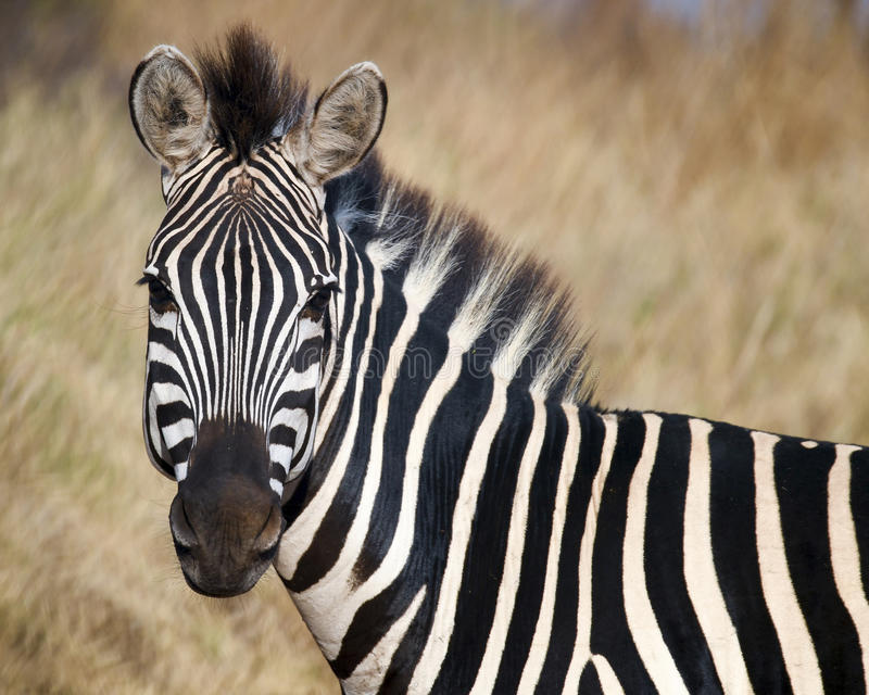 Zebra head looking at you stock photography