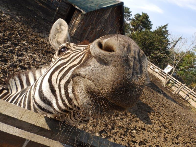 Zebra head stock photo