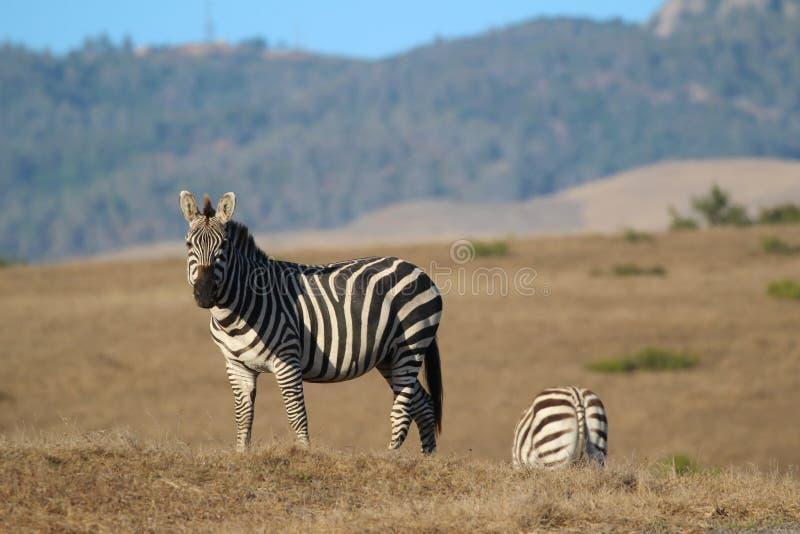 Zebra, Hearst-Boerderij in San Simeon, Californië, dichtbij Hearst-Kasteel, de V.S. stock fotografie