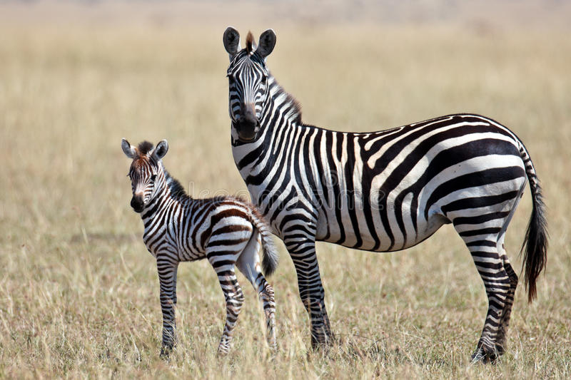 zebra with her cub stands and looks around royalty free. Black Bedroom Furniture Sets. Home Design Ideas