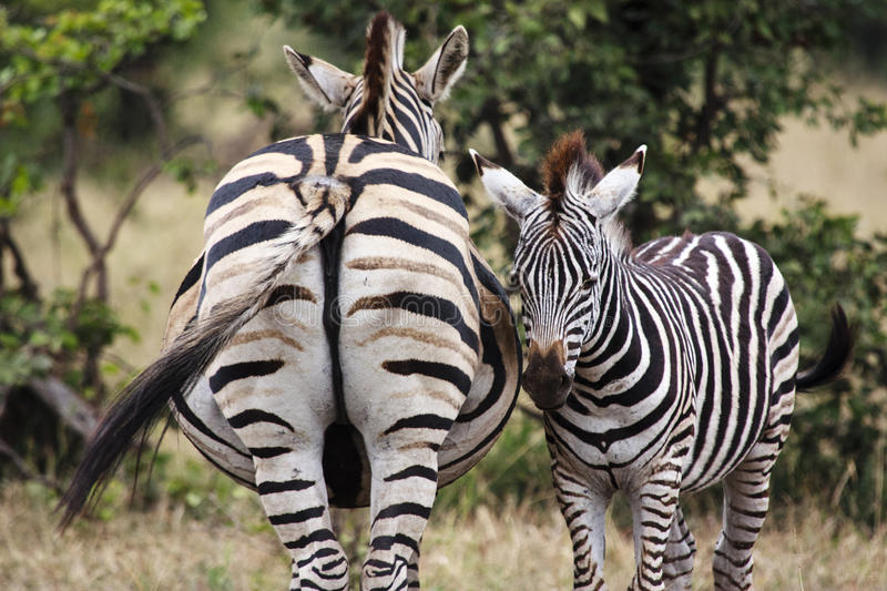 Zebra & her foal. A young zebra foal standing next to its mother royalty free stock image