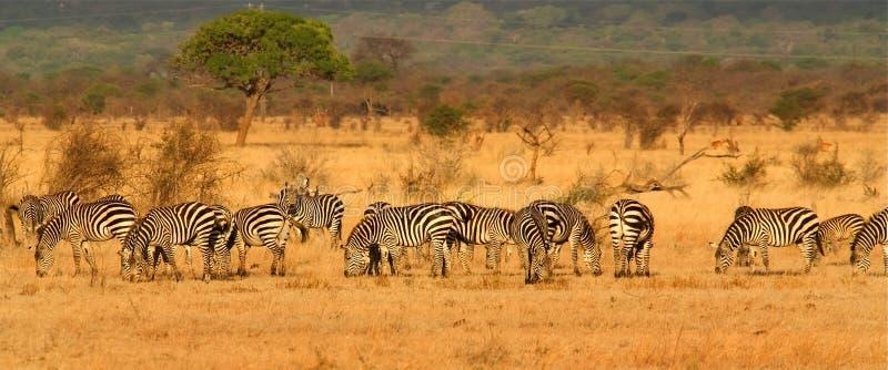 Download Zebra Herd stock photo. Image of africa, panoramic, animals - 11851178