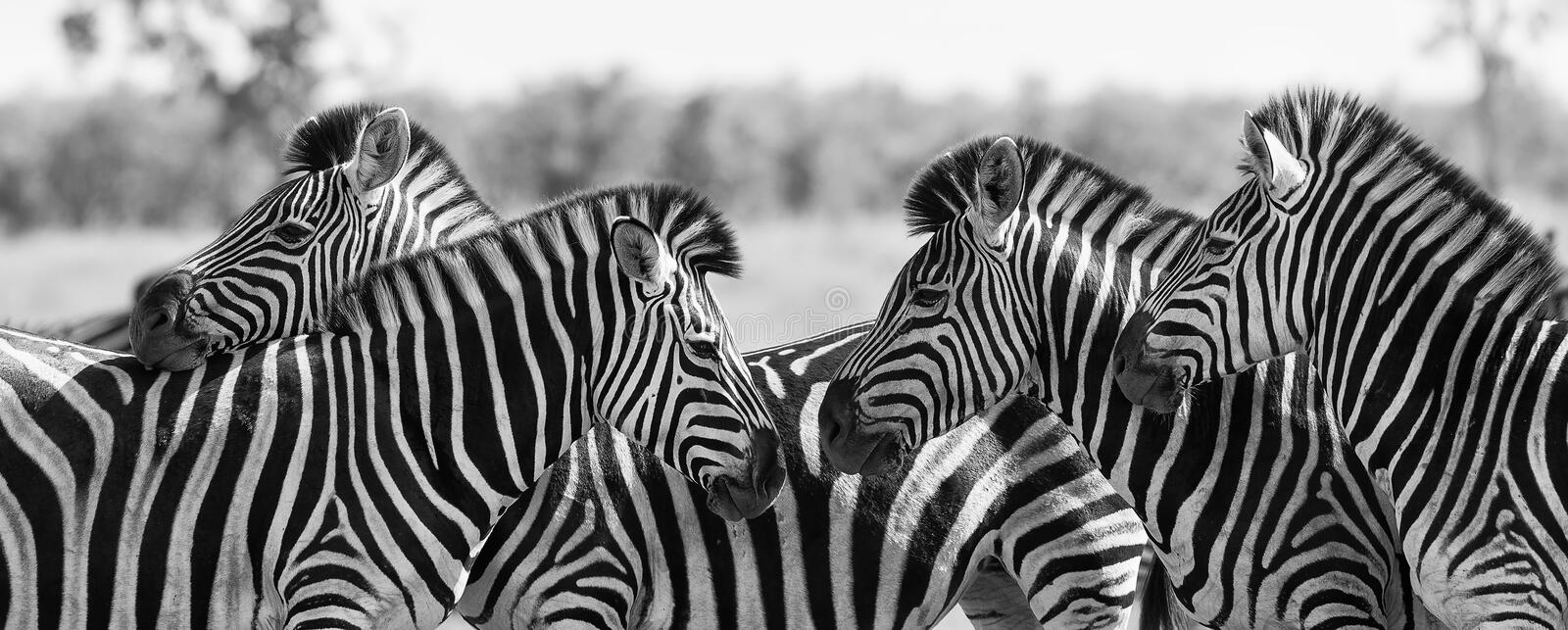 Zebra herd in black and white photo with heads together. Zebra herd in a black and white photo with heads together stock photography