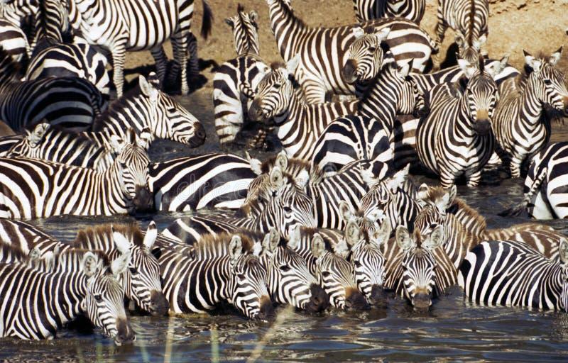 Zebra herd drinking in Serengeti. Zebra herd having a drink. Serengeti, Tanzania royalty free stock image