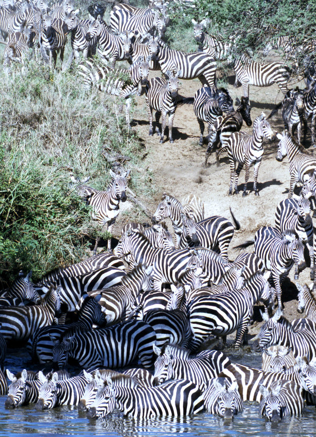 Zebra herd going for a drink in Serengeti. Big zebra herd, during the great migration, going for a drink. Serengeti, Tanzania stock photography