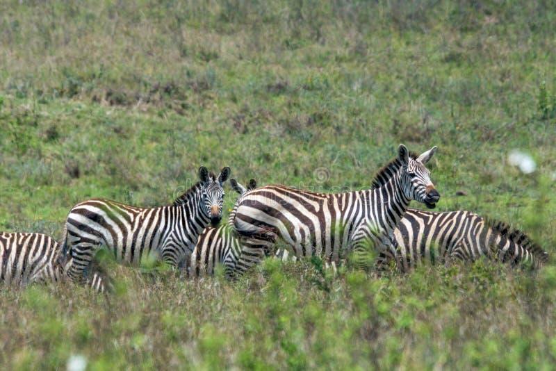 Zebra herd on the great plains of masai mara in kenya, africa. royalty free stock photo