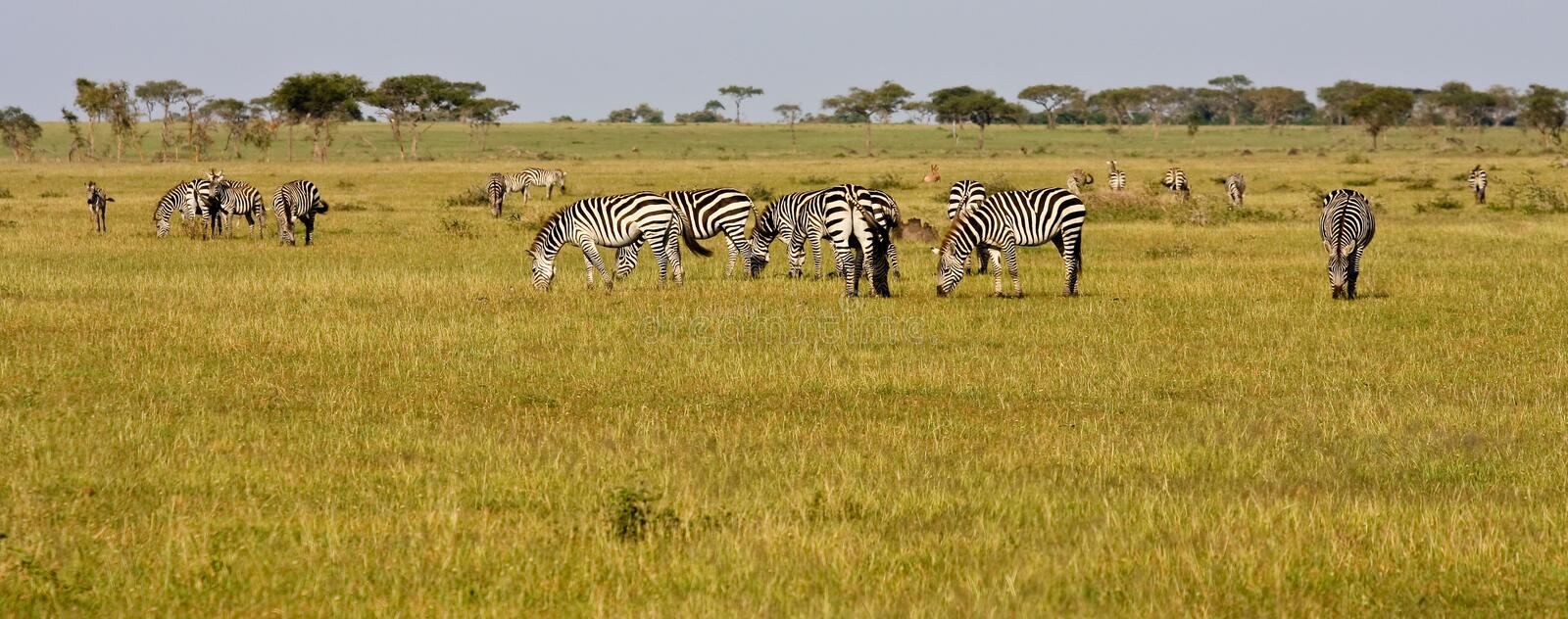 Zebra Herd in Grumeti Reserves stock photo