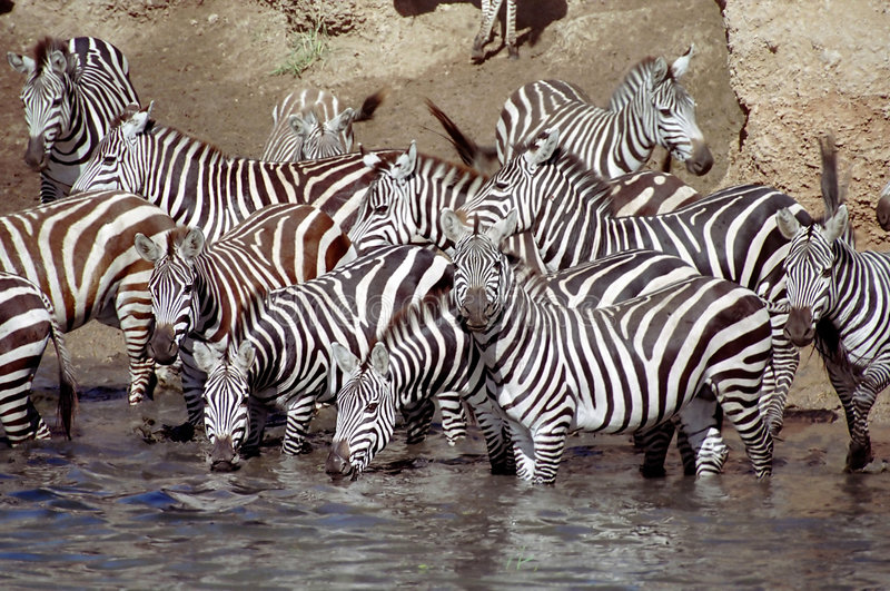 Zebra herd having a drink. During migration in the Serengeti, Tanzania stock image