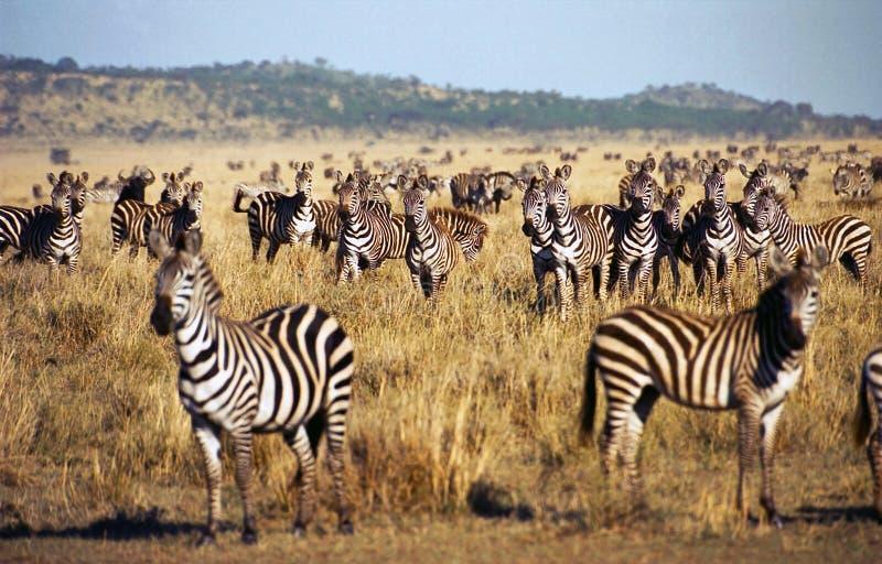 Zebra herd during Serengeti migration. Big zebra herd during the great migration. Serengeti, Tanzania stock photography