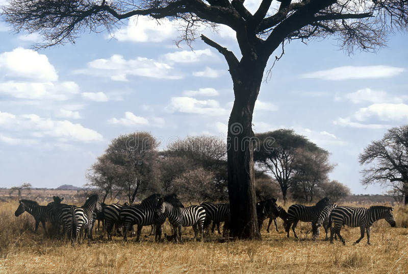 Zebra herd, Tanzania royalty free stock photo