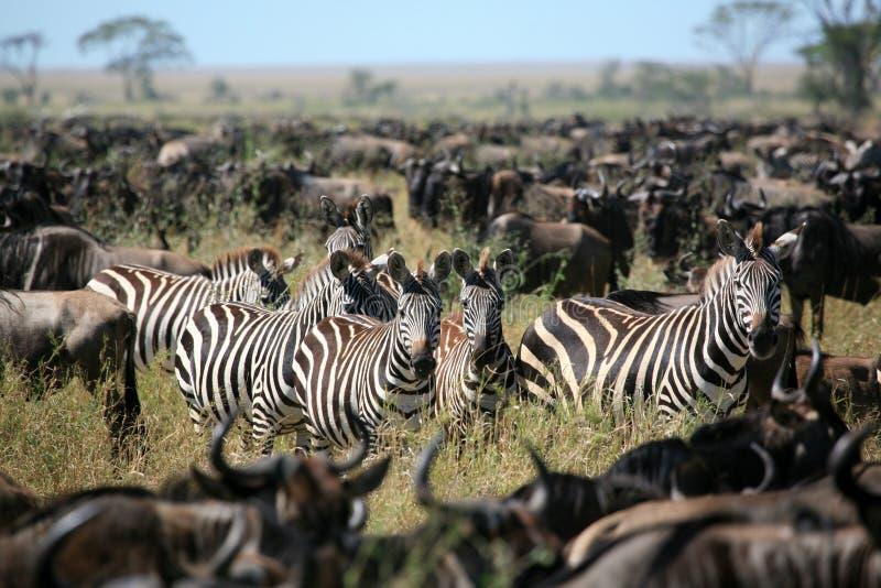 Zebra in a herd of wildebeest royalty free stock photography