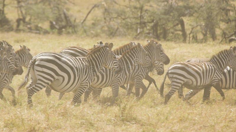Zebra-Herde, die im Staub läuft stockbild