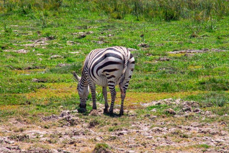 Zebra het bevlekte weiden in de wildernis royalty-vrije stock foto