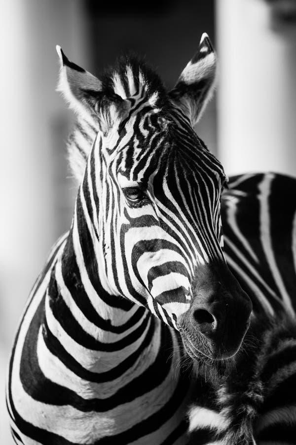 Zebra, het Nationale Park van Serengeti, Tanzania, Oost-Afrika royalty-vrije stock foto