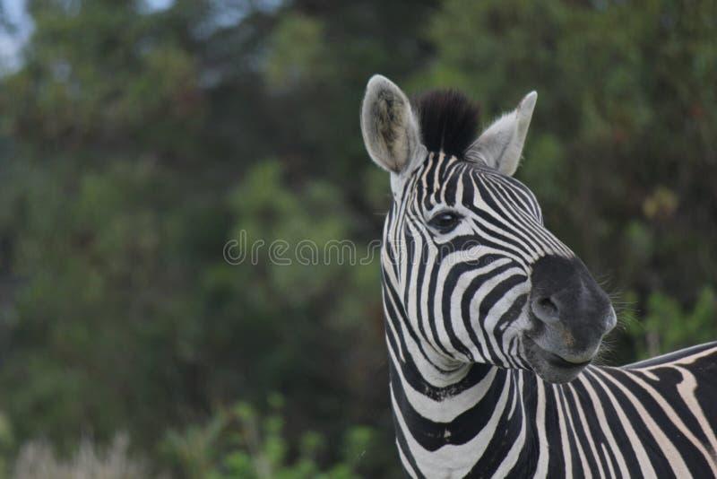 Zebra in het Spelpark van Kragga Kramma royalty-vrije stock afbeelding