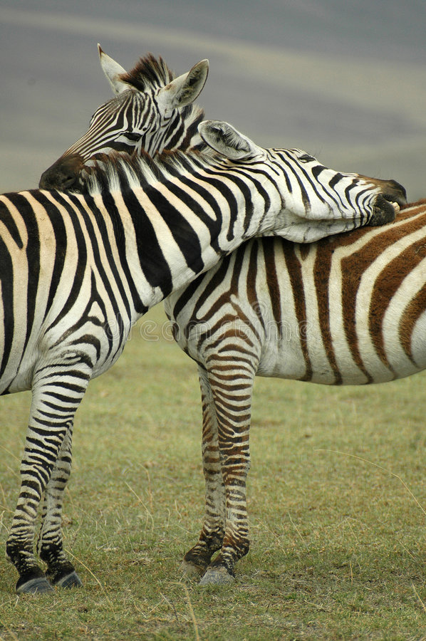 Zebra Hug stock photo