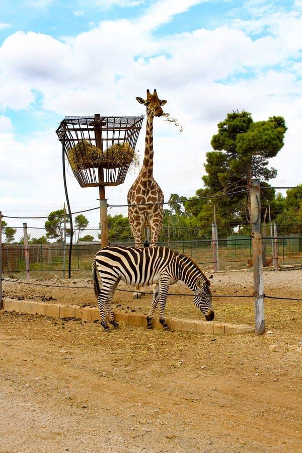 Zebra i żyrafa jemy fotografia royalty free