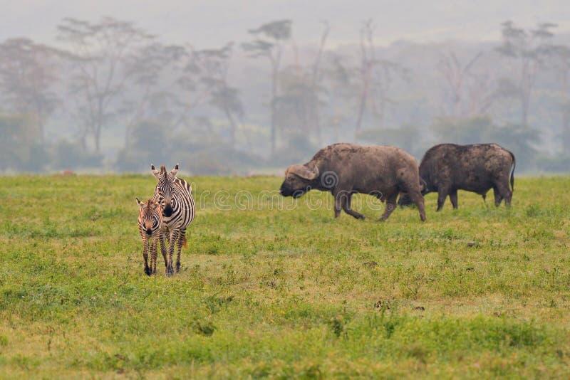 Zebra i bizon na parku narodowym obrazy stock