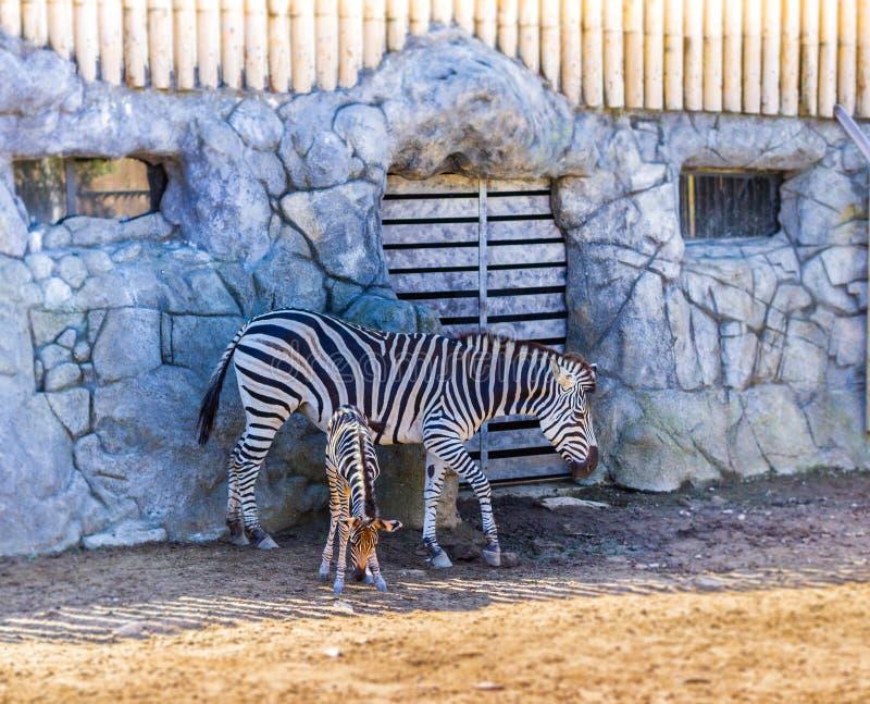 Zebra i jej nowonarodzony dziecko zdjęcia stock