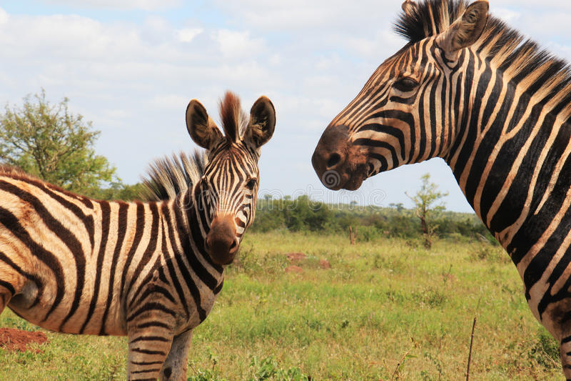 Zebra i jej syn obraz royalty free