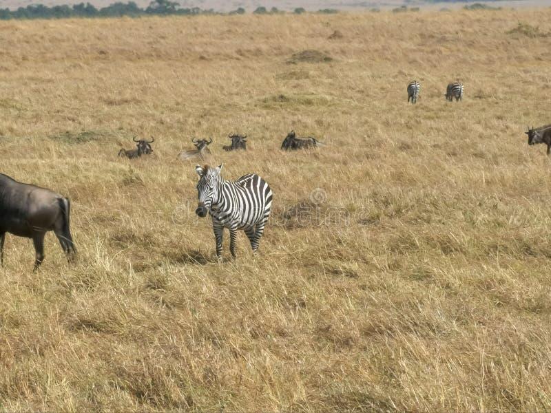 Zebra i wildebeest w masai Mara, Kenya zdjęcie royalty free
