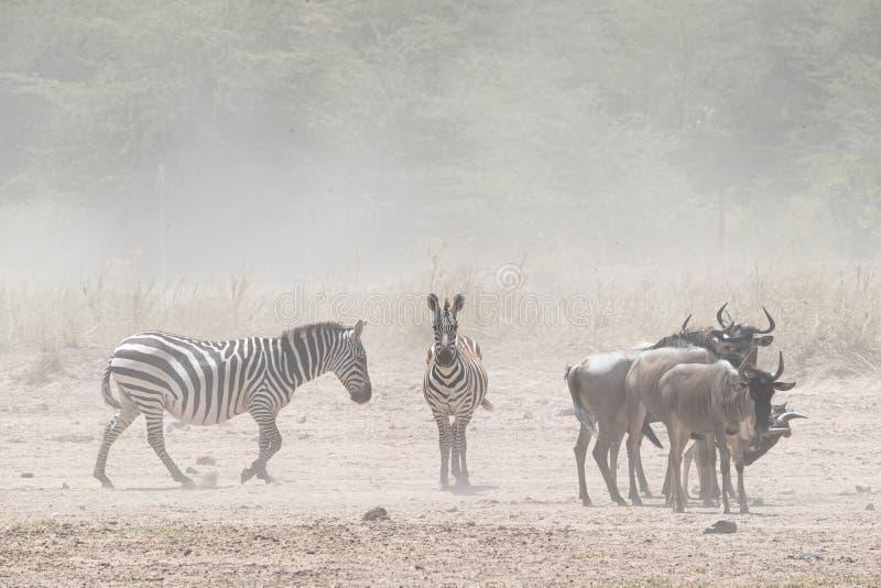 Zebra i Wildebeest w pyle Kenja obrazy stock