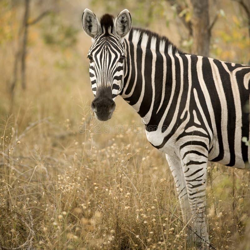 Zebra im Busch stockbilder