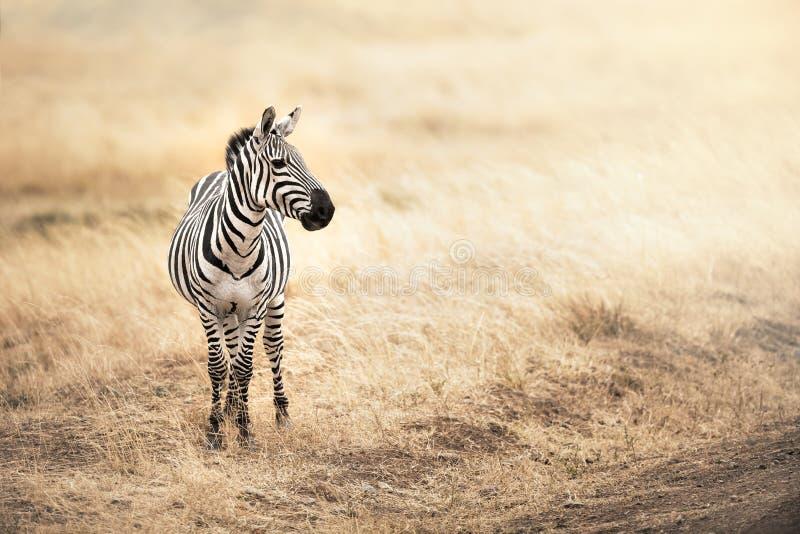 Zebra im Nachmittagssonnenlicht lizenzfreie stockfotos