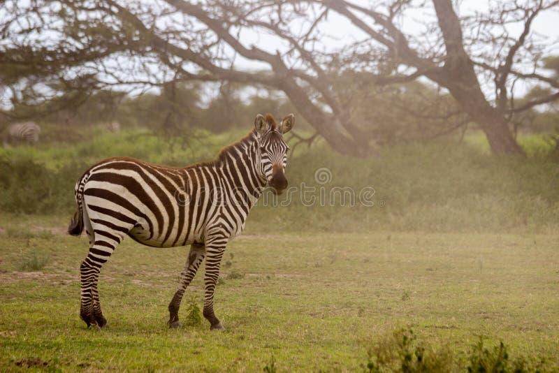 Zebra im Serengeti lizenzfreie stockfotografie