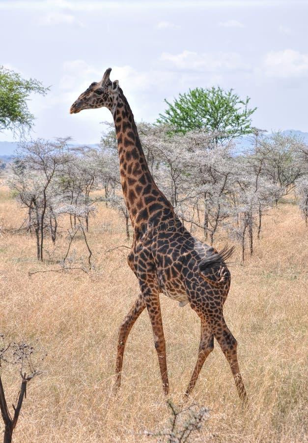 Zebra im wilden lizenzfreie stockfotos