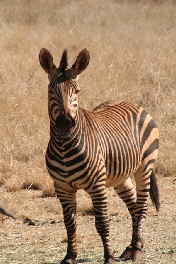 Free Zebra In Africa Royalty Free Stock Photos - 2648698