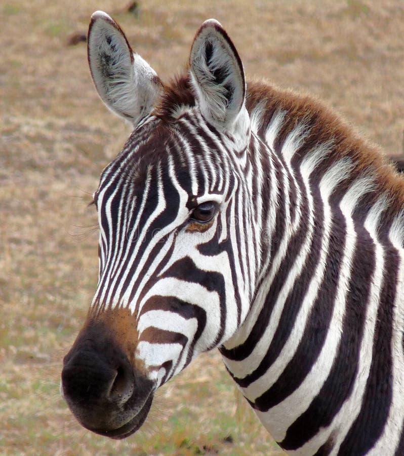 Free Zebra In Kenya S Masai Mara. Stock Photos - 11495543